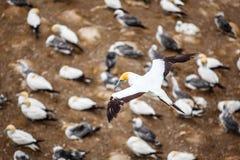 Η αποικία Australasian Gannet Στοκ Εικόνες