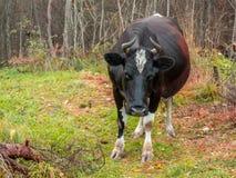 Η απομακρυνμένη μαύρη αγελάδα περιπλανήθηκε στο δάσος στοκ εικόνα