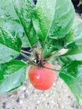 η απομόνωση μήλων αφήνει άσπρος Στοκ Εικόνα