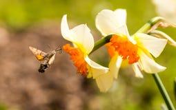 Η απορρόφηση εντόμων γερακιών κολιβρίων από ανθίζει lilly Στοκ εικόνα με δικαίωμα ελεύθερης χρήσης