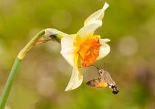 Η απορρόφηση εντόμων γερακιών κολιβρίων από ανθίζει lilly Στοκ εικόνες με δικαίωμα ελεύθερης χρήσης