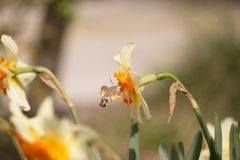 Η απορρόφηση εντόμων γερακιών κολιβρίων από ανθίζει lilly Στοκ Εικόνες