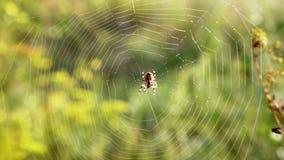 Η αράχνη κάθεται σε έναν Ιστό φιλμ μικρού μήκους