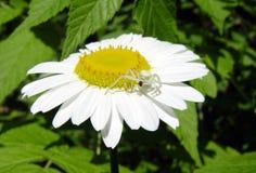 Η αράχνη και η μύγα Στοκ φωτογραφίες με δικαίωμα ελεύθερης χρήσης