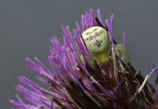 Η αράχνη κρύβει στα λουλούδια Στοκ Εικόνα