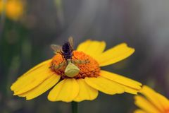 Η αράχνη λουλουδιών είχε πιάσει μια μύγα Vatia Misumena Φωτεινός κίτρινος-ή Στοκ Εικόνες