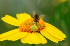 Η αράχνη λουλουδιών είχε πιάσει μια μύγα Vatia Misumena Φωτεινός κίτρινος-ή Στοκ φωτογραφία με δικαίωμα ελεύθερης χρήσης