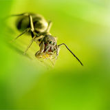 Η αράχνη μυρμηγκιών μένει στο πράσινο Στοκ φωτογραφία με δικαίωμα ελεύθερης χρήσης