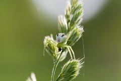 Η αράχνη λουλουδιών, vatia Misumena καβουριών χρυσοβεργών τρώει τη μύγα sigle Στοκ φωτογραφία με δικαίωμα ελεύθερης χρήσης