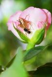 Η αράχνη που πιάνει τα έντομα σε ρόδινο αυξήθηκε Στοκ Εικόνες