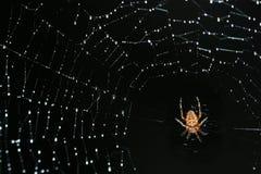 Η αράχνη σε ένα καθαρό ful των σταγόνων βροχής εστιάζει σε μια αράχνη και μια διαγώνια γραμμή της καθαρής αριστερής κορυφής στο σω Στοκ Εικόνα