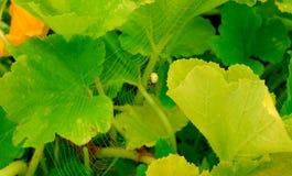 Η αράχνη στα φύλλα των κολοκυθιών Στοκ Φωτογραφίες