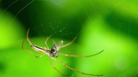 Η αράχνη στον Ιστό, τρώει το θήραμα απόθεμα βίντεο