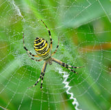 η αράχνη της spiderweb Στοκ Εικόνα
