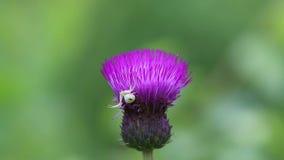 Η αράχνη το /Misumena vatia/καβουριών διέδωσε τα πόδια του να απειλήσει θέτει στο λουλούδι κάρδων φιλμ μικρού μήκους