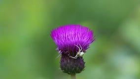 Η αράχνη το /misumena vatia/καβουριών κάνει μια ενέδρα στο θύμα στο λουλούδι κάρδων απόθεμα βίντεο