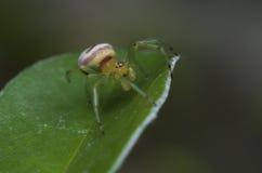Η αράχνη φαντασμάτων Στοκ Εικόνες