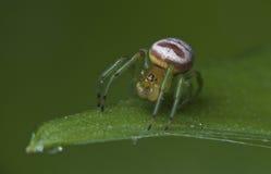 Η αράχνη φαντασμάτων Στοκ Φωτογραφίες