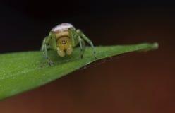 Η αράχνη φαντασμάτων Στοκ φωτογραφία με δικαίωμα ελεύθερης χρήσης