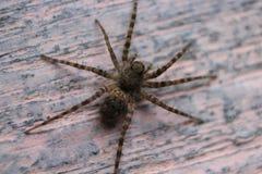 Η αράχνη Στοκ Φωτογραφίες