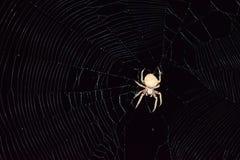 Η αράχνη Araneus κυνηγά τη νύχτα Στοκ Φωτογραφία