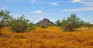 Η Αριζόνα, άνοιξη ανθίζει βόρεια του Phoenix: Ένας τάπητας της σφαίρας Chamomile στοκ φωτογραφίες