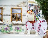Η αρκετά άσπρη καλά-ντυμένη γάτα σε μια γάτα παρουσιάζει Στοκ φωτογραφία με δικαίωμα ελεύθερης χρήσης
