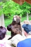Η αρκούδα επιδεικνύει πόσο ψηλή είναι Στοκ Εικόνες