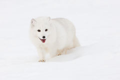 Η αρκτική αλεπού είναι όλα τα χαμόγελα στοκ εικόνα