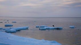 Η αρπακτική μύγα πουλιών από τον πάγο το χειμώνα στη θάλασσα απόθεμα βίντεο
