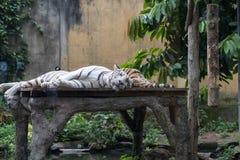 Η αρσενική και θηλυκή τίγρη σε έναν ρομαντικό θέτει, ερωτευμένη στιγμή στο πάρκο ζωολογικών κήπων του Μπαλί, Ινδονησία Στοκ Εικόνες