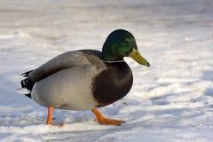 Η αρσενική πάπια, το πουλί είναι το χιόνι Στοκ εικόνες με δικαίωμα ελεύθερης χρήσης
