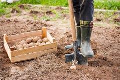 Η αρσενική Farmer στις λαστιχένιες μπότες με το φτυάρι και πατάτες στο έδαφος Ι Στοκ φωτογραφία με δικαίωμα ελεύθερης χρήσης