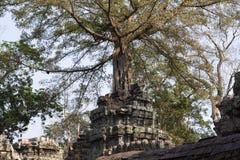 Η αρχαία καταστροφή του ναού TA Prohm, Angkor Wat σύνθετο, Siem συγκεντρώνει, Καμπότζη Το δέντρο αυξάνεται από την καταστροφή πύρ Στοκ Φωτογραφίες