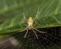 Η ασημένια αράχνη στον Ιστό με το νερό μειώνεται κοντά επάνω - argentata Argiope στη μακρο φωτογραφία Ιστού Στοκ Φωτογραφίες