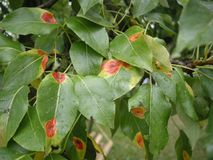 Η ασθένεια sabinae gymnosporangium σκουριάς αχλαδιών σε ένα δέντρο αχλαδιών βγάζει φύλλα Απελευθερώσεις νερού Στοκ Εικόνες