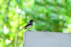 Η ασιατικά κίσσα-Robin ή saularis Copsychus, μικρό πουλί passerine Στοκ φωτογραφίες με δικαίωμα ελεύθερης χρήσης