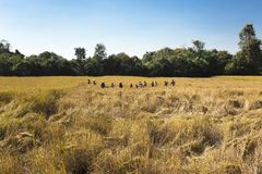 Η ασιατική συγκομιδή αγροτών ανθρώπων του τομέα ρυζιού στην εποχή συγκομιδών, και ο αγρότης συγκομίζουν το ρύζι στο υπόβαθρο μπλε Στοκ εικόνα με δικαίωμα ελεύθερης χρήσης