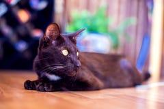 Η ασιατική συνεδρίαση γατών shorthair και η προσοχή, γκρίζο ζωικό κατοικίδιο ζώο, στοκ εικόνες