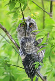 Η αστεία μακρύς-έχουσα νώτα κουκουβάγια νεοσσών κάθεται σε ένα δέντρο διέδωσε τα φτερά της Στοκ Εικόνες