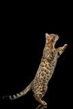 Η αστεία στάση γατακιών της Βεγγάλης στα οπίσθια πόδια απομόνωσε το μαύρο υπόβαθρο Στοκ Φωτογραφία