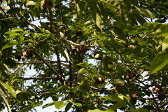 Η λαστιχένια σφαίρα είναι σε ένα λαστιχένιο δέντρο Στοκ εικόνα με δικαίωμα ελεύθερης χρήσης