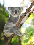 η Αυστραλία Αυστραλός αντέχει το κοινό koala Στοκ Φωτογραφία