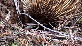 Η Αυστραλία, νησί καγκουρό, εξόρμηση στον εσωτερικό, κλείνει επάνω την άποψη ενός ντροπαλού echidna απόθεμα βίντεο