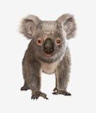 η Αυστραλία αντέχει τη φωτογραφία koala που λαμβάνεται Στοκ Φωτογραφία