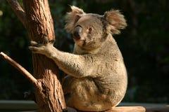 η Αυστραλία αντέχει τη φωτογραφία koala που λαμβάνεται Στοκ Εικόνες