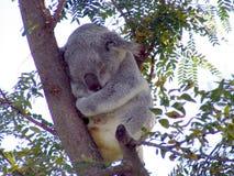 η Αυστραλία αντέχει τη φωτογραφία koala που λαμβάνεται στοκ εικόνα