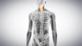 Η αυχενική σπονδυλική στήλη διανυσματική απεικόνιση