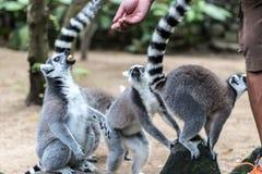 Η δαχτυλίδι-παρακολουθημένη σίτιση κερκοπιθήκων από τον εργαζόμενο ζωολογικών κήπων στο ζωολογικό κήπο του Μπαλί, Ινδονησία Στοκ εικόνες με δικαίωμα ελεύθερης χρήσης