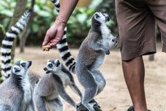 Η δαχτυλίδι-παρακολουθημένη σίτιση κερκοπιθήκων από τον εργαζόμενο ζωολογικών κήπων στο ζωολογικό κήπο του Μπαλί, Ινδονησία Στοκ φωτογραφία με δικαίωμα ελεύθερης χρήσης